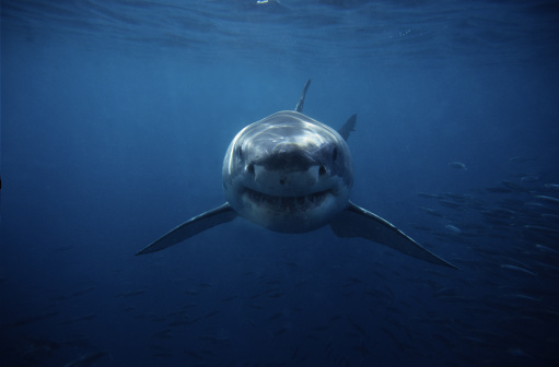 Horror「great white shark,carcharodon carcharias, swimming,south australia」:スマホ壁紙(13)