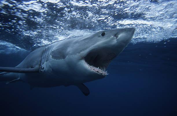 great white shark,carcharodon carcharias, swimming, south australia:スマホ壁紙(壁紙.com)