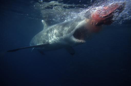 Furious「great white shark,carcharodon carcharias, attacking bait,south australia」:スマホ壁紙(14)