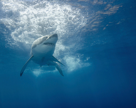 Furious「A great white shark at Guadalupe Island, Mexico.」:スマホ壁紙(15)