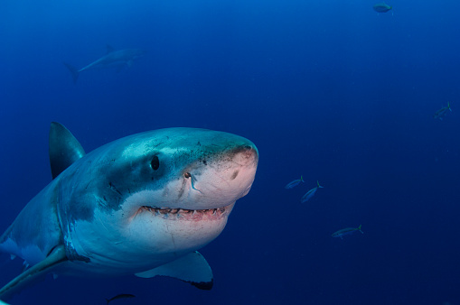 Furious「Great white shark smiling for camera, Guadalupe Island, Mexico.」:スマホ壁紙(6)