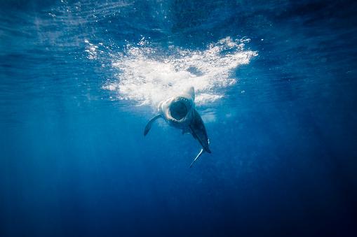 Furious「Great White Shark attack mode beneath the surface」:スマホ壁紙(1)