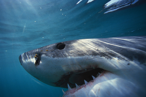 1990-1999「Great White Shark」:スマホ壁紙(4)
