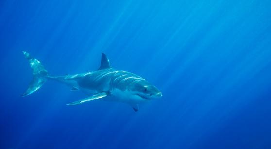 Shark「Great White Shark」:スマホ壁紙(19)