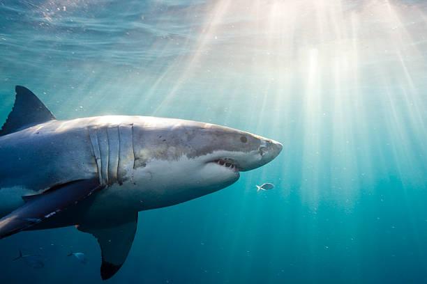 Great White Shark:スマホ壁紙(壁紙.com)
