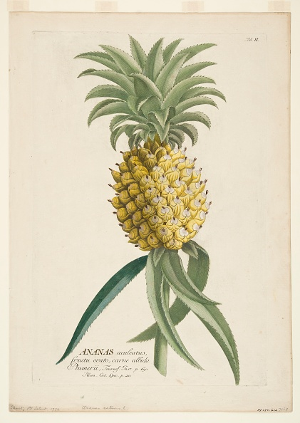 White Background「Ananas Sativus」:写真・画像(13)[壁紙.com]