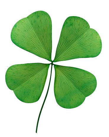 Good Luck Charm「Four Leaf Clover On White Background」:スマホ壁紙(5)
