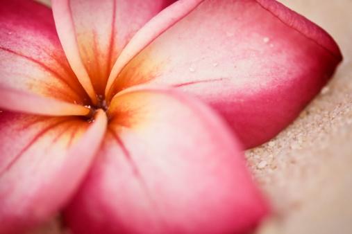 プルメリア「フランジパニ(プルメリアの花をビーチ)」:スマホ壁紙(10)