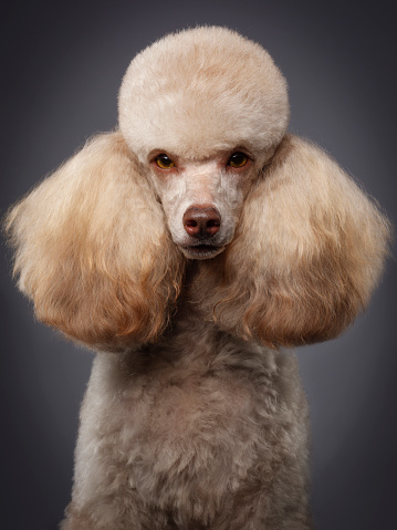 Animal Hair「Purebred Miniature Poodle Dog」:スマホ壁紙(15)
