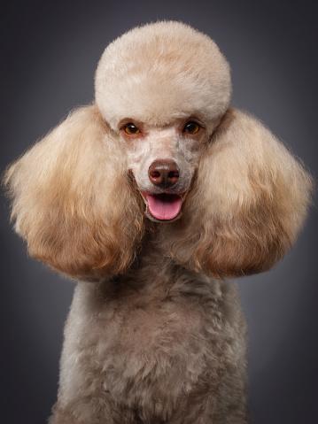 Headshot「Purebred Miniature Poodle Dog」:スマホ壁紙(13)
