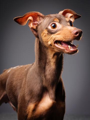 朗らか「純血種のミニチュア ・ ピンシャー犬」:スマホ壁紙(18)