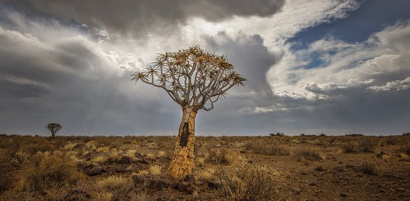 Quiver Tree「A lone and stark Quiver tree and its rocky base, like some giant prehistoric dandelion, on the harsh and arid landscape. The grey and heavy Stratocumulus clouds threaten rain from above. Full colour horizontal landscape image.」:スマホ壁紙(8)