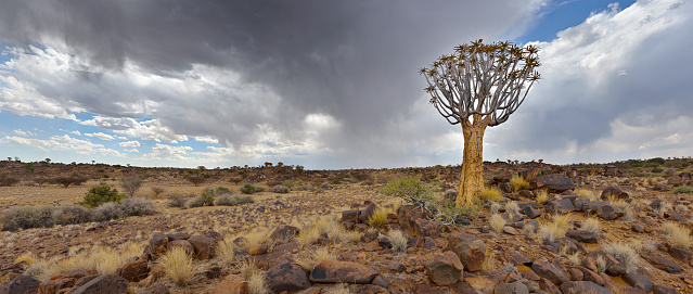 Quiver Tree「A lone and stark Quiver tree and its rocky base, like some giant prehistoric dandelion, on the harsh and arid landscape. The grey and heavy Stratocumulus clouds threaten rain from above. Full colour horizontal landscape image.」:スマホ壁紙(9)