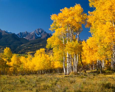 Aspen Tree「Mount Sneffels With Autumn Aspen Trees」:スマホ壁紙(18)