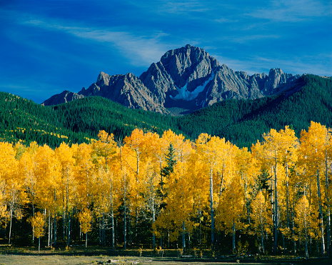 Aspen Tree「Mount Sneffels and Aspen Trees」:スマホ壁紙(18)