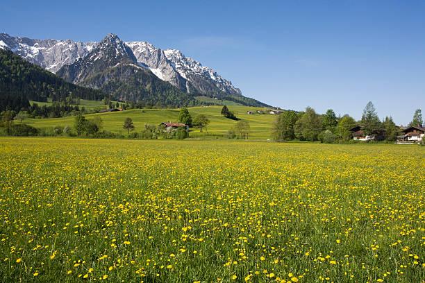 Austria, Tyrol, Kaisergebirge, Dandelion meadow in spring:スマホ壁紙(壁紙.com)