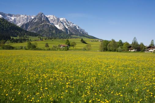 Tyrol State - Austria「Austria, Tyrol, Kaisergebirge, Dandelion meadow in spring」:スマホ壁紙(12)