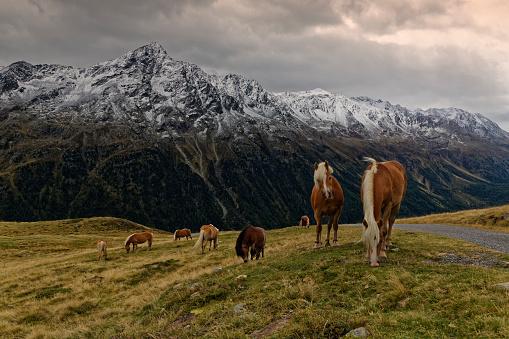 北チロル「Austria, Tyrol, Oetztal, Soelden, horses on alpine meadow」:スマホ壁紙(1)