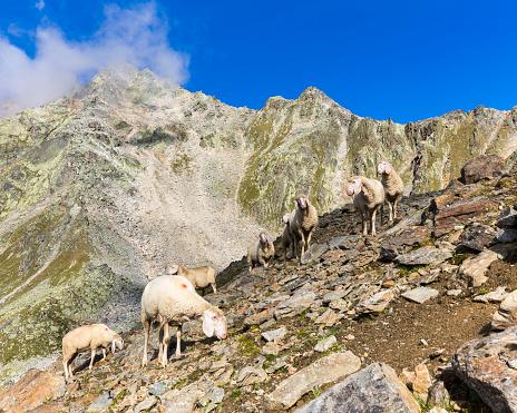 Ötztal Alps「Austria, Tyrol, Oetztal, flock of sheep at Gaislachkogel」:スマホ壁紙(13)