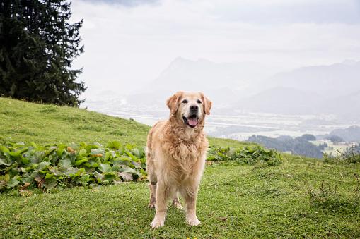Waiting「Austria, Tyrol, Kaiser mountains, Golden Retriever standing on alpine meadow」:スマホ壁紙(14)