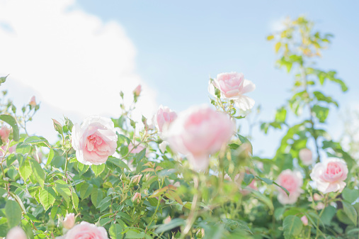 Sky「Germany, Saxony, Roses, Rosa」:スマホ壁紙(7)