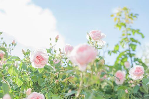 ピンク「Germany, Saxony, Roses, Rosa」:スマホ壁紙(7)