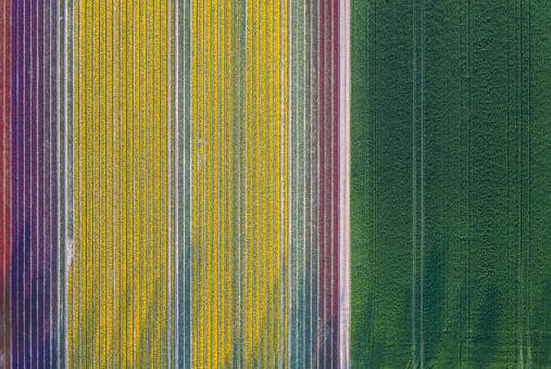 チューリップ「Germany, Saxony-Anhalt, aerial view of tulip fields」:スマホ壁紙(18)