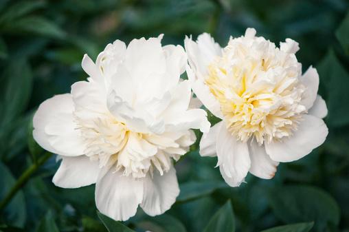 花「White Chinese Peony Flower Duo」:スマホ壁紙(1)