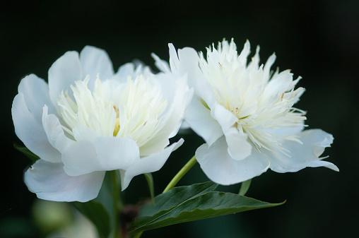 花「White Chinese Peony Flower」:スマホ壁紙(16)