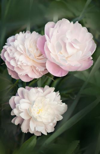 花「White Chinese Peony Flower」:スマホ壁紙(2)
