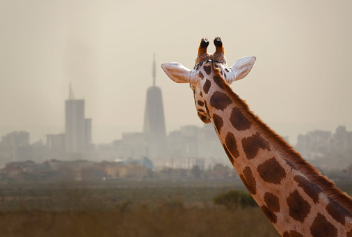Giraffe「A giraffe watching a modern city skyline.」:スマホ壁紙(12)