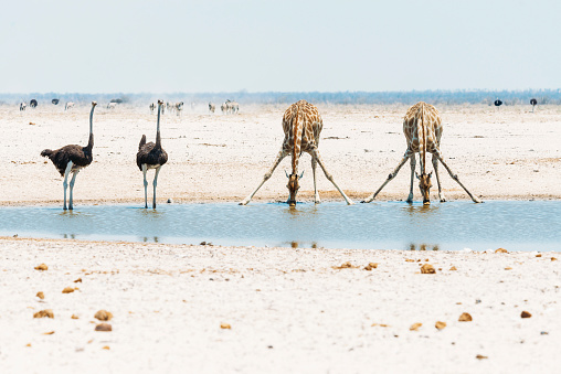Swallow - Bird「Namibia, Ostriches and giraffes at waterhole in Etosha National Park」:スマホ壁紙(14)