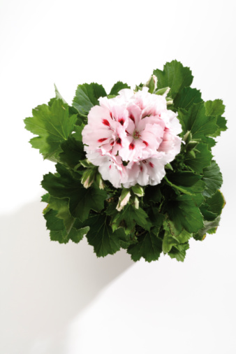 flower「Geranium, (Pelargonium), close-up」:スマホ壁紙(3)