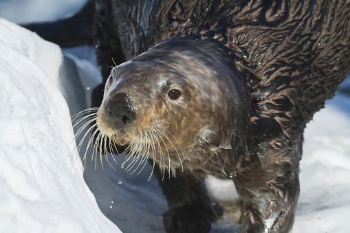 Animal Whisker「Sea Otter in Whittier, Alaska. Winter. Otters. Southcentral Alaska.」:スマホ壁紙(17)