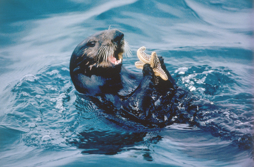 Monterey Bay「Sea otter is about to eat a starfish. Enhydra lutris. Monterey Bay, California.」:スマホ壁紙(10)