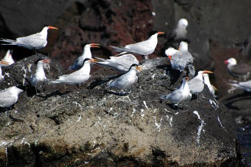 Eco Tourism「elegant terns, Thalasseus elegans」:スマホ壁紙(1)