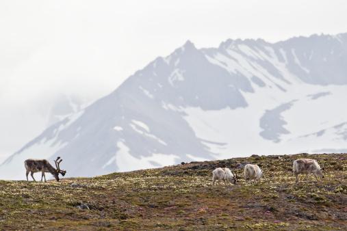 Svalbard Islands「Europe, Norway, Spitsbergen, Svalbard, Reindeers grazing on grass」:スマホ壁紙(13)