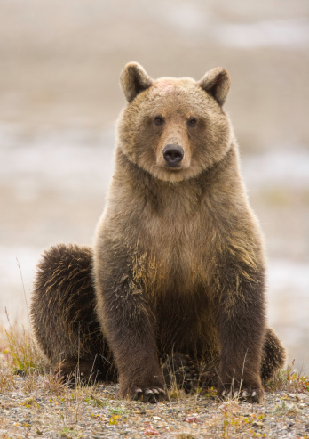 Brown Bear「Young female brown bear (Ursus arctos) with tracking tags on ears」:スマホ壁紙(9)