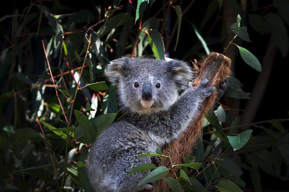 Animal「NSW Works To Save The Koala As Bushfires, Habitat Loss And Disease Threaten Future Of Australia's Iconic Animal」:写真・画像(3)[壁紙.com]