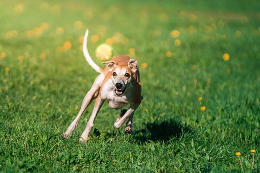 Walking「Dog Whippet Is Chasing to Flying Tennis Ball」:スマホ壁紙(3)