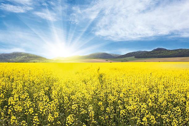 Yellow Rape-seed Field:スマホ壁紙(壁紙.com)