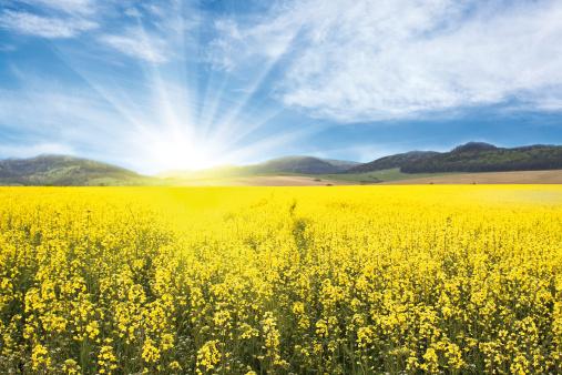 アブラナ「Yellow Rape-seed Field」:スマホ壁紙(11)