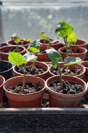 Bush Bean「Runner bean plants growing in greenhouse」:スマホ壁紙(19)