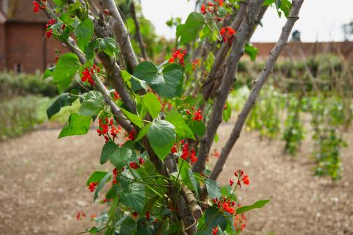 Bush Bean「Runner bean plants growing in allotment」:スマホ壁紙(14)