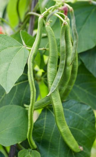 Bush Bean「Runner beans, close up」:スマホ壁紙(18)