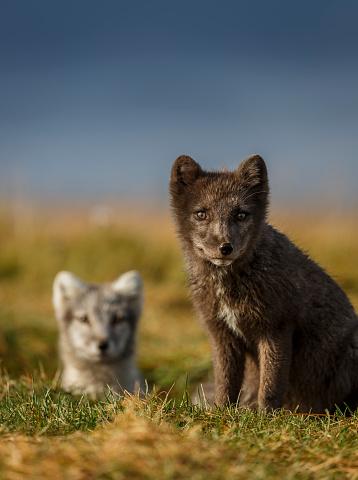 Arctic Fox「Arctic Foxes, Iceland」:スマホ壁紙(6)