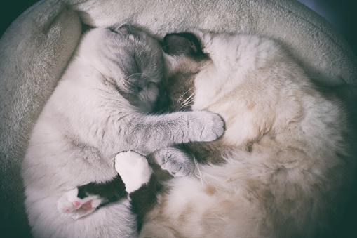 バーマン猫「Cats sleeping」:スマホ壁紙(18)