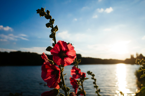 Back Lit「Germany, Hibiscus blossom, Deckstein pond in local recreation area near Cologne」:スマホ壁紙(13)