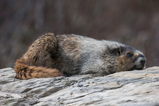Yoho National Park「Hoary marmot (Marmota caligata), Yoho National Park」:スマホ壁紙(1)