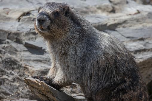 Yoho National Park「Hoary marmot (Marmota caligata), Yoho National Park」:スマホ壁紙(13)